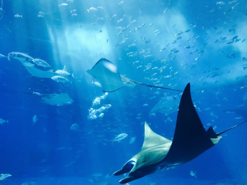 Enchanting dance of the Manta rays is quite incredible.