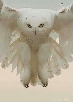 Spectacular Snowy Owls.