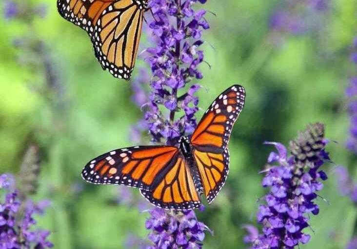 Monarch Butterfly Beauty